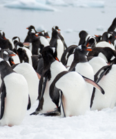 Gentoo Penguins on Danco Island