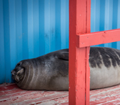 A baby Weddell seal lies in the doorway of a building