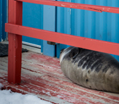 A baby Weddell seal was lounging in the entrance of one of the cabins