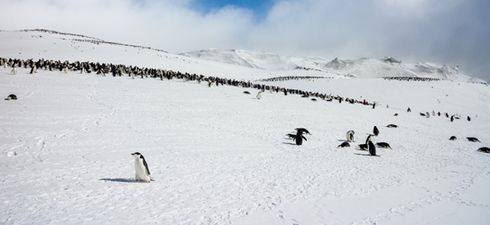 Chinstrap Penguins form huge colonies on Deception Island - The noise is deafening!