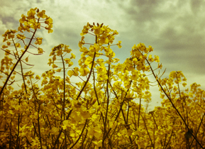 Rapeseed Plants in the English Countryside