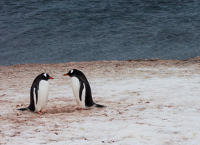 A pair of Gentoo Penguins gaze at each other around their nest
