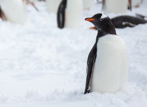 A Gentoo Penguin watches his companions arriving from the water