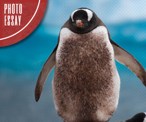 Photo Essay - Antarctic Penguins