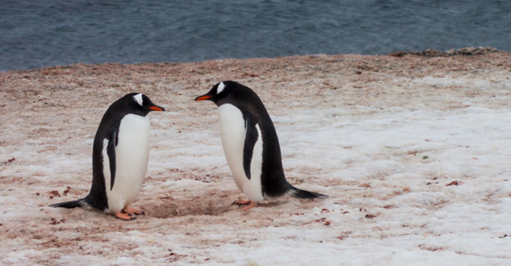 Loves longing gaze - Two Gentoo Penguins exchange a loving stare