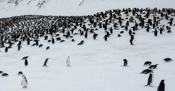 The largest rookery of Chinstrap penguins we encountered - Roughly 8000 strong