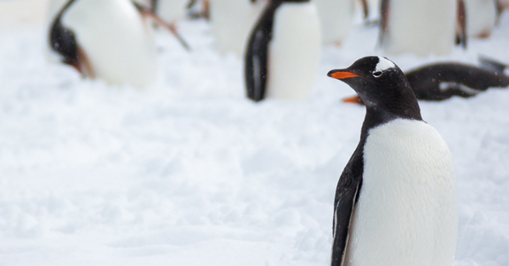 A Gentoo Penguin contemplates the path ahead to it's nesting ground