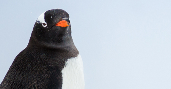 A Gentoo Penguin carefully makes it's way up the hillside to its nesting ground