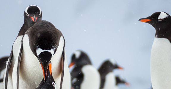 Lovers embrace - Mating Gentoo penguins, admired by wishful onlookers