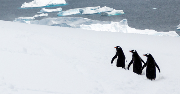 Follow the leader - Marching Gentoo penguins on Danco Island