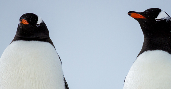 A pair of Gentoo Penguins survey the land