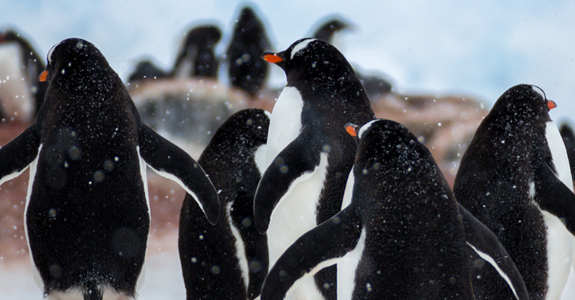 These hardy Penguins battle tirelessly against the harsh snow and wind