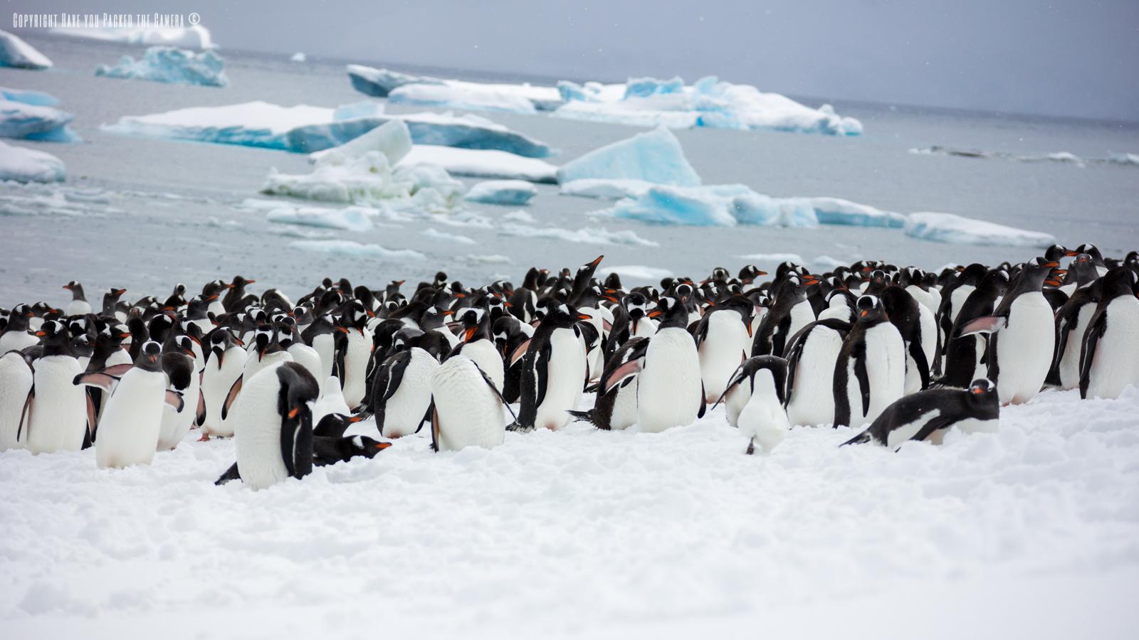 Essay On Penguins
