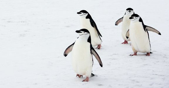 A group of Chinstrap Penguins stagger back from the pub