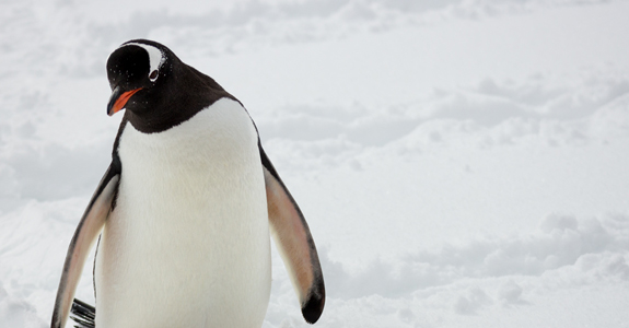 A Gentoo Penguin makes it's way towards the nesting sites