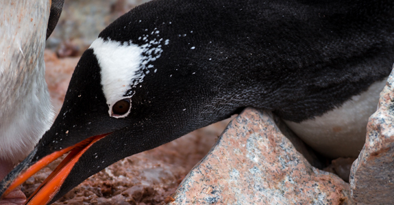 A Gentoo gathers rocks to build its nest