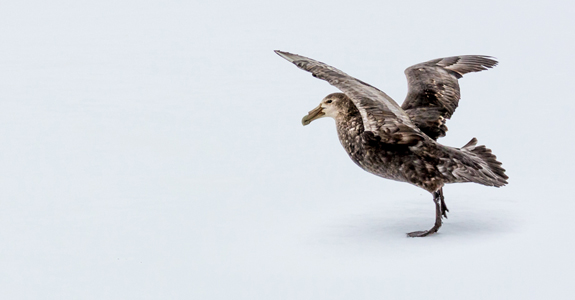 Giant Petrel prepares to take flight on Barrientos Island