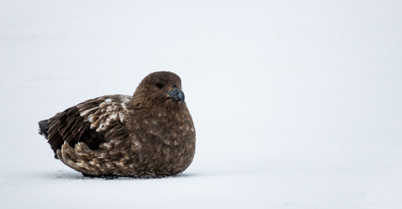 A Brown Skua rests on the ice, surveying a group of Chinstrap Penguins