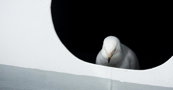 A pair of Sheathbills take refuge from the intense wind in the ships air ducts