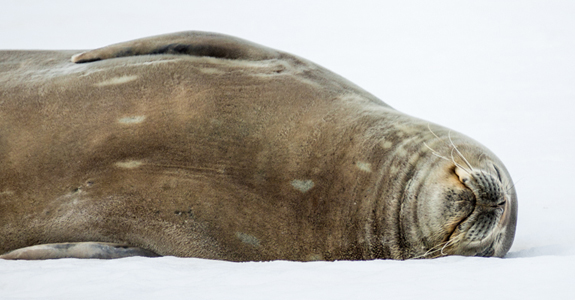 A Weddell Seal happily rests on the ice of Jorges Point