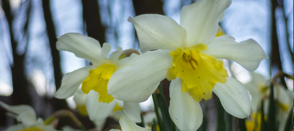 Beautiful variety of white Daffodil