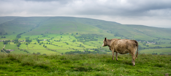 A cow grazes peacefully on the ridges of Mam Tor